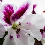 English Begonia