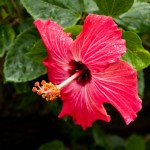 Japanese Hibiscus