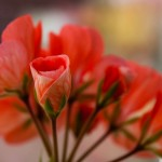 Peachy Pelargonium