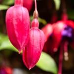 Unborn Fuchsia